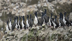 Peru (richard.mcmanus.) Tags: peru southamerica ballestasislands birds cormorant guanaycormorant mcmanus gettyimages