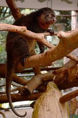 Ailurops furvus - Großer Bärenkuskus - Mountain bear cuscus (Kowari) Tags: zoo captive marsupial diprotodontia phalangeridae mammalia cuscus bearcuscus mountainbearcuscus ailurops ailuropsfurvus groserbärenkuskus bärenkuskus