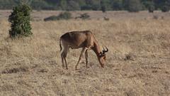 Grazing topi (Nagarjun) Tags: safaritrektourscoke safari nairobinationalpark kenya africa wildlife mosesnjomo brown dawn morning sunrise sunshine