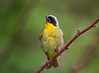 Yellow Bird (Kathy Macpherson Baca) Tags: animal animals bird aves birds warbler world earth planet yellowthroat sing male migrate spring nest territory call fly feather tiny cute brave cheeky creature wings have