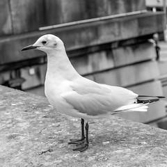 Mouette parisienne (Marc Torfs) Tags: hiver grosplans toureiffel mouette îledefrance brume oiseau paris france fr