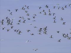 Mainly Avocets (Ken near Duras) Tags: leteich birds bassindarcachon olympusem1 canon400mmf56l metaboneseftomft