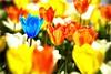 BLUE TULIP (bert • bakker) Tags: tulpen tulips blauwetulp bluetulip amsterdam thorbeckeplein nikon85mm18g