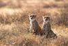 Le guet (www.sophiethibault.ca) Tags: guépards serengeti afrique tanzanie savane 2016 safari animaux juin