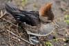 Hooded merganser with ruffled hood (PChamaeleoMH) Tags: anatidae birds centrallondon ducks hoodedmergansers london stjamesspark