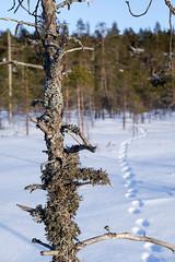 DSCF4177-Mikko-Ilmoniemi.jpg (jkl_metsankavijat) Tags: 35mm jyme jyväskylänmetsänkävijät partio xt1 eräkämppä kylmä lumi lämpö nuotio pakkanen partiohuivi partioscout pimeys scout scouting seikkailijat talvi talvivaellus trangia tuli vaellus vaeltaminen ystävät
