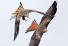 Red Kite (Alan Gutsell) Tags: bird birding ukbirds uk alan nature wildlife red kite redkite raptor birdofprey flying wales