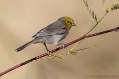Verdin (Matt Shellenberg) Tags: verdin yellow riparian preserve water ranch arizona matt shellenberg