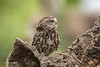 Whats going on over there? D75_9915.jpg (Mobile Lynn) Tags: nature owls birds littleowl bird fauna strigiformes wildlife nocturnal otterbourne england unitedkingdom gb coth specanimal coth5 ngc npc