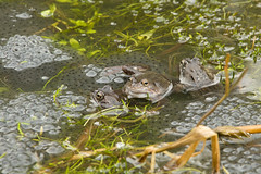 Common frogs and spawn (gillian.pullinger) Tags: frog frogs ranatemporaria spawn spring pond pondlife wildlife amphibian amphibians