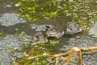 Common frogs and spawn