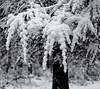 Snowy pine branch.  Hasselblad X1D. (Tim Ravenscroft) Tags: snow pine tree branch detail hasselblad hasselbladx1d x1d