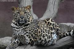Young African Leopard - Olmense Zoo (Mandenno photography) Tags: animal animals african leopard young olmense olmensezoo olmen belgie belgium bigcat big cat dierenpark dierentuin dieren zoo
