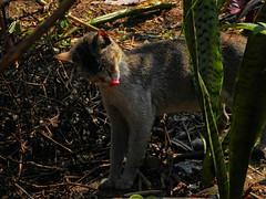 The nose knows... (Abeer!) Tags: baramangwa darjeeling himalaya himalayas westbengal bengal india abeer abeerbarman animal cat feline green nature pet