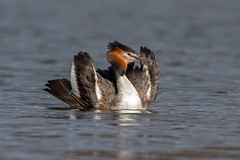 Great Crested Grebe - Cat Pose (Simon Stobart) Tags: great credt grebe podiceps cristatus strange pose catpose northeast england naturethroughthelens coth5 ngc npc