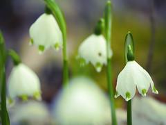 Frühlingsboten (heikebeudert) Tags: flowers blumen frühling spring nature forest wald natur weis white