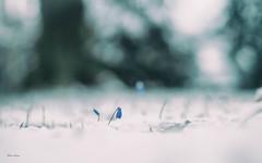 winter.blues (_andrea-) Tags: scilla tintenblau blaustern sonya7m2 carlzeiss objektiv mount outdoor dof bokeh bokehshots bokehjunkie bokehs beautifulshot andrea images snow march märz