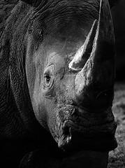 Moody (Wildlife Online) Tags: whiterhino ceratotheriumsimum rhino rhinoceros squarelippedrhino mammal animal wildlife africanwildlife savannahwildlife zslwhipsnade zoophotography blackandwhite marcbaldwin wildlifeonline