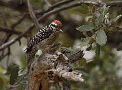Ladder-backed Woodpecker (slsjourneys) Tags: woodpecker ladderbackedwoodpecker