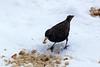 Winter Starling (Sturnus vulgaris) (steve_whitmarsh) Tags: aberdeenshire scotland nature wildlife animal birds feathers fieldfare abigfave