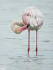 Flamenco (Elías Gomis) Tags: flamenco ave bird flamingo phoenicopterus rosa pink eliasgomis ngc