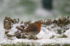 Robin in snow (Simon Dell Photography) Tags: snow uk sheffield hackenthorpe s12 simon dell photography 2018 minibeastfromtheeast weather nature wildlife birds robin red breast bird cute table design micro garden model cottage house borrower