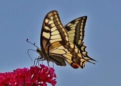 Schwalbenschwanz (Papilio machaon) (Hugo von Schreck) Tags: hugovonschreck butterfly schmetterling falter macro makro insect insekt canoneos5dsr tamron28300mmf3563divcpzda010