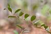 Doghobble (Leucothoe axillaris) (Stuart Borrett) Tags: brownscreek fetterbush joneslakestatepark mtb mountainbike nica northcarolina cmb flower foliage kids nature plant race leucothoe northamericancoastalplain macro