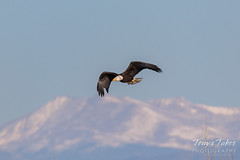 Bald Eagle in front of the Rocky Mountains