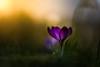 Krokus (louhma) Tags: crocus krokus sunny dof spring 2018 colorful depthoffield flower flowers bokeh lila d750 colour deutschland germany