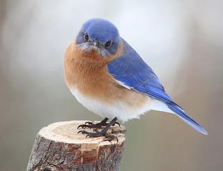Eastern-Bluebird-312w