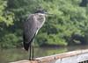 New kid on the block... juvenile Great Blue Heron (John's Love of Nature) Tags: greatblueheron ardeaherodias johnkelley johnsloveofnature
