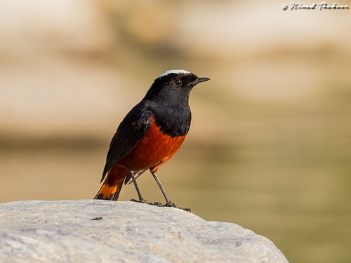 """White-capped Redstart (Lifer) • <a style=""""font-size:0.8em;"""" href=""""http://www.flickr.com/photos/59465790@N04/40037157114/"""" target=""""_blank"""">View on Flickr</a>"""