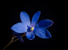 Thelymitra crinita- Blue Lady Orchid (loveexploring) Tags: australia australiannativeplant blueladyorchid orchidaceae southwestaustralia thelymitra thelymitracrinita westernaustralia blackbackground blue flower orchid plant sunorchid wildflower capelegrandnationalpark