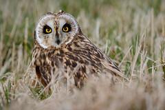 Velduil (Marvandae) Tags: velduil shortearedowl bird belgium vogel asioflammeus
