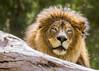 Grand Old Mane (Paul E.M.) Tags: izu sandiegozoosafaripark lion lioncamp africa majestic