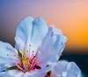 Flor de Almendro (Juanma Dominguez) Tags: almendro agricultura almendrero anteras atardecer campo enflor flor flordearbol horaazul macro ocaso petalos primavera