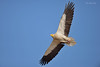 Big Wings.... (Anirban Sinha 80) Tags: nikon d610 fx 500mm f4 ed vrii g n beak wings bird vulture sky flight