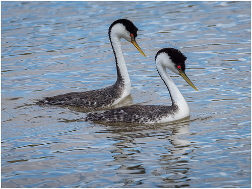 25 - Grebes Acourting