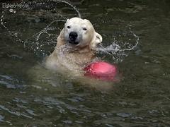 Antonia - Eisbär - Zoom Gelsenkirchen (ElaNuernberg) Tags: eisbärantonia zoomgelsenkirchen eisbär polarbear zoo zootier zooanimal orsopolare ourspolaire ijsbeer isbjorn jääkaru niedźwiedźpolarny ursusmaritimus