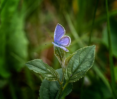 Blue Lord (Portraying Life, LLC) Tags: michigan unitedstates pentax k1 da3004 handheld nativelighting meadow butterfly closecrop