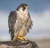 Sun Bathing (vishalsubramanyan) Tags: falcon peregrine raptor birdofprey peregrinefalcon guul log nikon 300f4 d500 14tc wildlife wildlifephotography nature naturephotography california