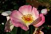 ROSES (toni baeza oto) Tags: roses