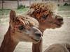 Gorgeous Alpacas (Bob.Z) Tags: alpaca newmexico usa sagebrushalpacas alpacafarm