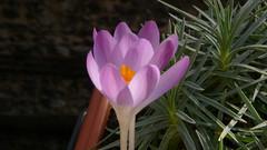 Crocus (jeanlouisallix) Tags: rouen seine maritime haute normandie france fleurs flowers jardin garden jardinage fenêtre plante nature printemps