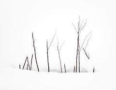 beauty in simplicity (Peter & Olga) Tags: japan 2018 winter snow photographictour simplicity fujifilm twigs olgabaldock