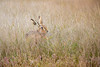 Brown Hare in Water Meadow (www.andystuthridgenatureimages.co.uk) Tags: hare brown mammal meadow grass flowers closeup field suffolk uk