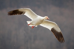 The Long Journey. (tresed47) Tags: 2018 201803mar 20180312bombayhooknwr birds bombayhook canon7d content delaware folder goose march peterscamera petersphotos places season snowgoose takenby us winter