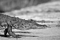 crocodylus niloticus ~r (andré & riette) Tags: andrériette pictureswild wildlife nilecrocodile commoncrocodile crocodylusniloticus krokodil crocodile bwabwatanationalpark namibia kwandoriver