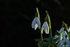Friday´s Flower Power (Lutz Koch) Tags: snowdrop schneeglöckchen blume flower friday´sflowerpower garden garten märz march white snowwhite elkaypics lutzkoch gegenlicht backlit